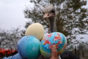 عکس | اشتغال مولد از جوجه یک روزه تا پرورش شترمرغ