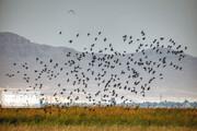 مجوز شکار پرندگان مهاجر در استان سمنان صادر نمیشود