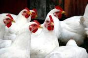موردی از بیماری آنفلوانزای فوق حاد پرندگان در کردستان مشاهده نشد