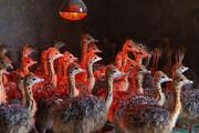 عکس   پرورش شتر مرغ