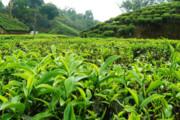 نقش فلهفروشان و دلالان در عدم کیفیت چای مازندران چیست؟