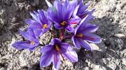 برداشت زعفران از مزارع دامغان