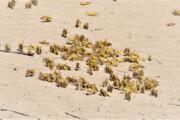 هشدار نسبت به ورود ملخهای صحرایی به فارس