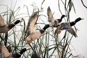 بازگشت نخستین گروه پرندگان مهاجر زمستانیبه میانکاله