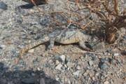 مشاهده گونه نادر حیات وحش در دشت ریگان | سوسمار دمتیغی