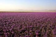 سرما به یکسوم مزارع زعفران گناباد خسارت وارد کرد