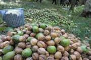 تولید سالیانه ۱۵ هزار تن گردو در استان