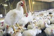 مرغهای بومی که سه برابر ۴۰ سال قبل تخم میگذارند