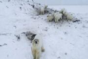 هجوم خرسهای قطبی به روستایی در روسیه