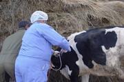 واکسیناسیون دام سنگین علیه بیماری لمپیاسکین در قروه آغاز شد