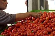 کاهش قیمت گوجه فرنگی در بازار