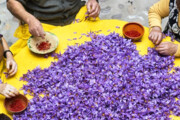 اهدای گل زعفران برای کمک به امامزادگان سرایان