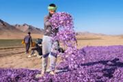 خرید زعفران حمایتی در خراسان رضوی از مرز ۴۱ تن گذشت