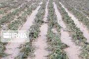 خسارت ۱۴۷ میلیاردی باران به مزارع شادگان