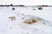 عکس روز: خرسهای قطبی گرسنه