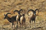 سرشماری حیات وحش در لرستان آغاز شد