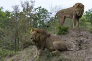 البرز صاحب شیر آفریقایی شد