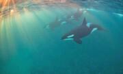 مراقبت مادربزرگها از اعضای جوانتر خانواده نهنگهای قاتل