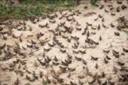 یک میلیارد تومان برای مبارزه با ملخهای صحرایی در کرمان نیاز است