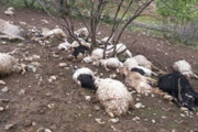 صاعقه ۵۰ راس گوسفند را در دهلران تلف کرد