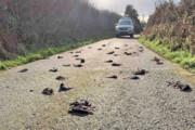 مرگ مرموز صدها پرنده در ولز