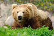 جریمه ۷۵ میلیونی برای شکار خرس قهوهای