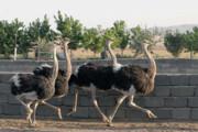 تولید سالانه ۲۵۸ تن گوشت شترمرغ در تایباد