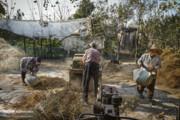 تصاویر | خرمنکوبی برنج به روش قدیمی