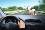 ماهانه لاشه دو هزار حیوان از جادههای خراسان رضوی جمع میشود