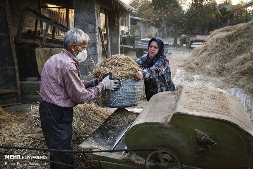 خرمن کوبی برنج به روش قدیمی