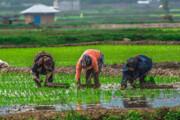واردات بیرویه برنج رمق شالیکاران را گرفته است