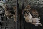 عکس روز: بچه شیرها و بچه پلنگهای رها یافته از قاچاقچیان