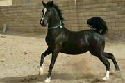 برگزاری جشنواره زیبایی اسب اصیل عرب در شوشتر