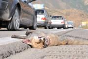 نجات روباه مصدوم در کرمانشاه | دستگیری شکارچی غیرمجاز بزکوهی