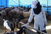 پرداخت ۴۰۰ میلیون غرامت به دامداران یزد