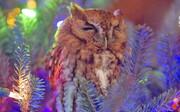 عکس روز | جغد زنده بین شاخههای درخت کریسمس