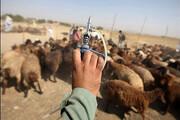 مایهکوبی دامهای عشایر   اعزام ۶ اکیپ دامپزشکی از همدان