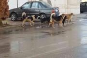 ۱۰ سگ ولگرد پسر۸ ساله را دریدند | حال وخیم کودک سردشتی