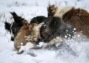 عکس روز | جنگ سگ و گرگ