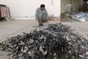کشف محموله بزرگ بالههای کوسه ماهیان در چابهار