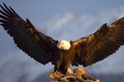 ویدئویی جالب از مزاحمت کلاغها برای یک عقاب در آستانه ماهیگیری