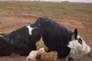 هشدار دامپزشکی در مورد افزایش کانونهای تب برفکی