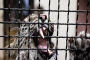 انتقال یک قلاده پلنگ ایرانی به باغ وحش تهران