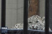 فیلم | انتقال یک قلاده پلنگ ایرانی به باغ وحش ارم