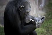 شامپانزهها مهارتها را به یکدیگر یاد میدهند