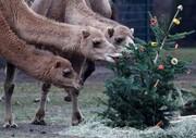 عکس | شترها و کاج کریسمس