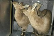 کشف دو رأس بزغاله وحشی زنده از خانه یک شکارچی در یزد