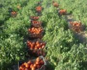 خرید حمایتی بیش از ۱۱ هزار تن محصول از کشاورزان قزوینی