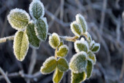 کشاورزان جنوب کرمان پدیده سرمازدگی را جدی بگیرند