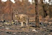 فاجعه آتشسوزی استرالیا به روایت اعداد |۸۰۰ میلیون حیوان و ۱۰ میلیون هکتار مرتع
